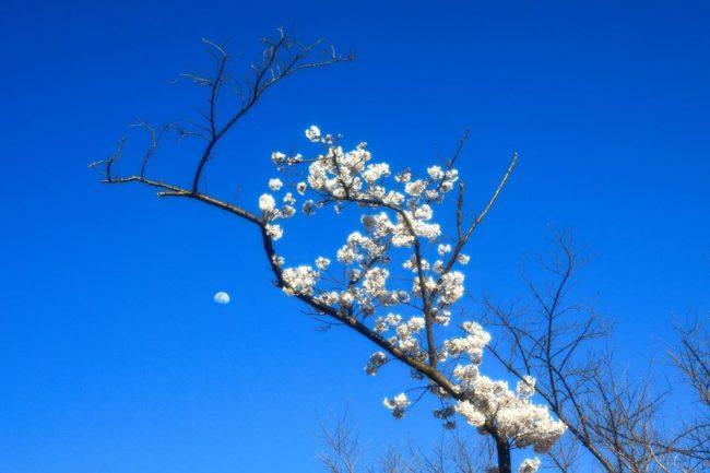 桜は未来の希望のために散る