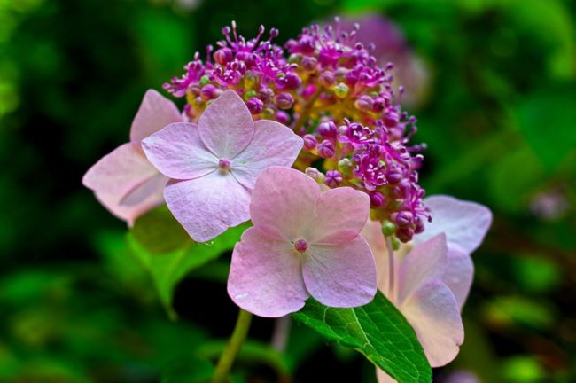梅雨と言えば紫陽花です