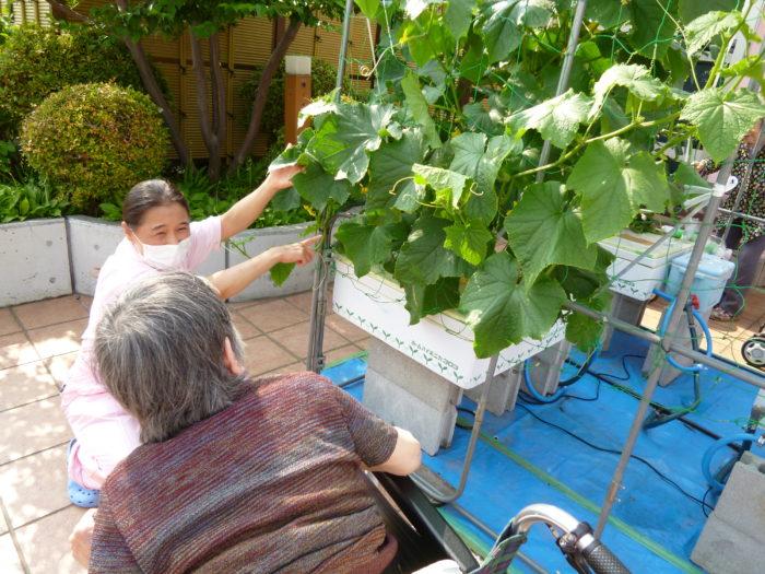 キュウリの水耕栽培 収穫 発見 特養