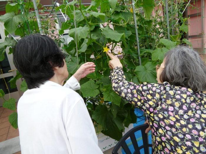 キュウリの水耕栽培 収穫 キュウリの花 特養
