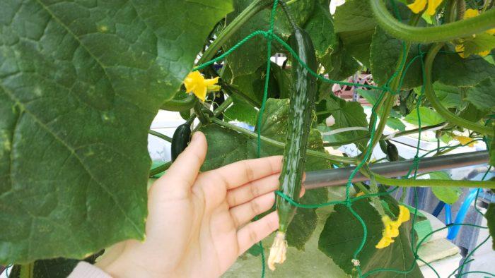水耕栽培 キュウリ 収穫時期 立派に実る みずみずしい実