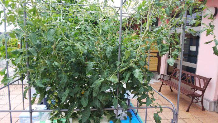 水耕栽培 成長 収穫時期 全体 トマト アイコ(赤)