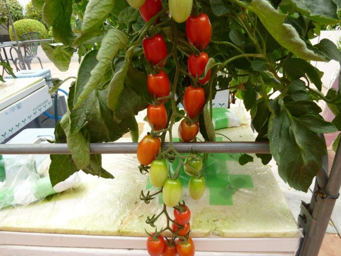 トマト アイコ(赤) 水耕栽培 収穫 すずなり