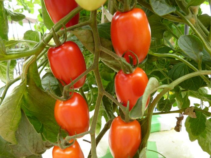 水耕栽培 トマト アイコ(赤) みずみずしい実 収穫