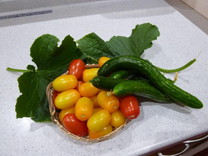 キュウリ トマト 水耕栽培 収穫 みずみずしい