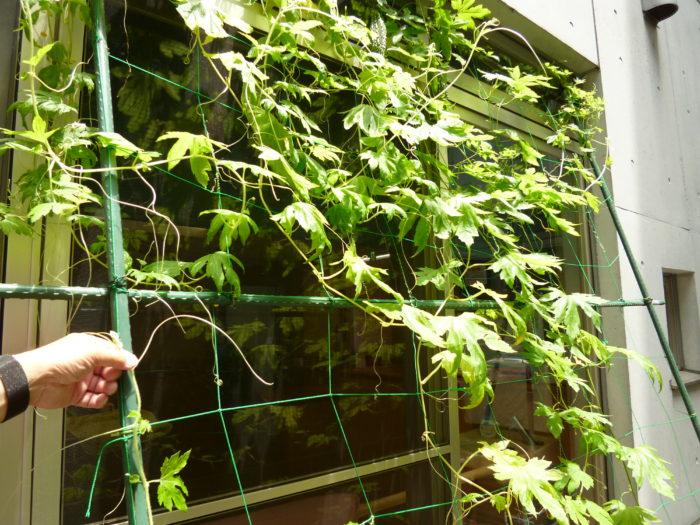 特別養護老人ホーム ゴーヤの栽培 中庭
