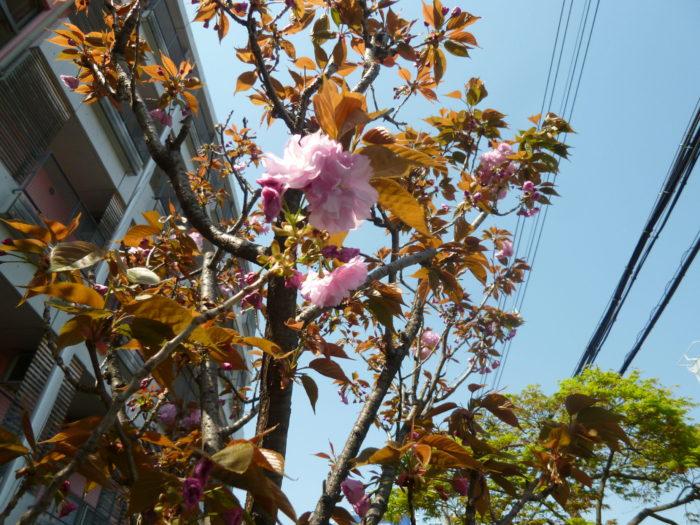 桜のおやつ
