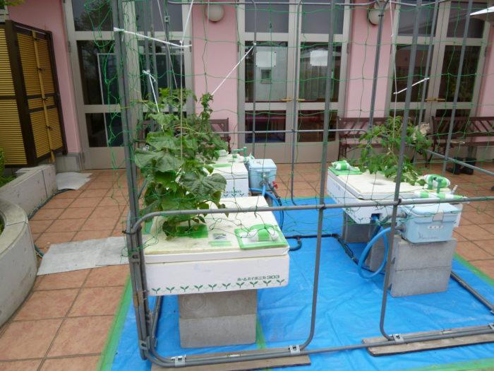 アーバンケア御厨 キュウリとトマトの水耕栽培 きいろの花 成長 実り 水耕栽培