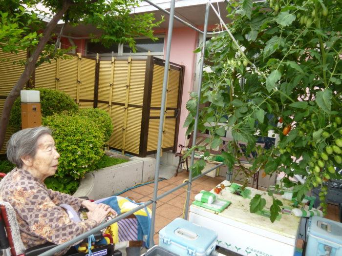 トマトの水耕栽培 アーバンケア御厨 高齢者施設での野菜作り 収穫直前