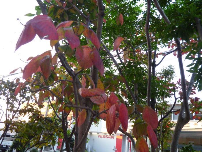 11月 紅葉 アーバン御厨の庭